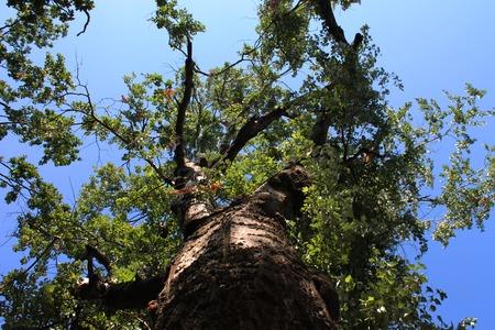 huge tree: Huge beautiful tree on a summer day Stock Photo