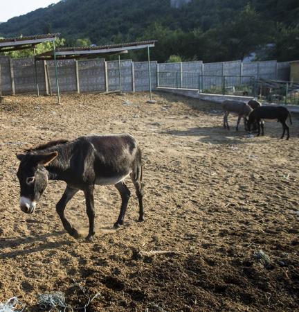 Donkey on donkey farm. September 2015 Crimea Stock Photo
