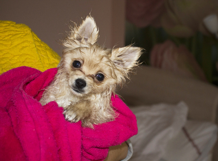 Wet little dog, wrapped in a towel Stock Photo