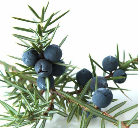 enebro: Bayas de enebro (Juniperus communis).  Foto de archivo