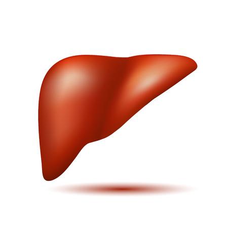 Semi-realistic vector human liver Vector