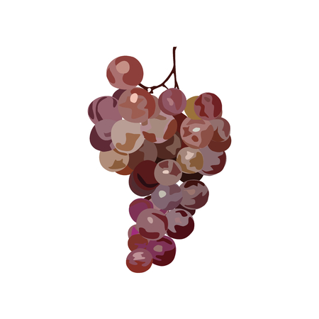 Bunch of grapes. Vector. Hand drawen grape. Watercolor imitation. Isolated bunch of grapes on white background.