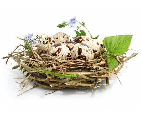 codorniz: huevos de codorniz en un nido aislado en fondo blanco Foto de archivo
