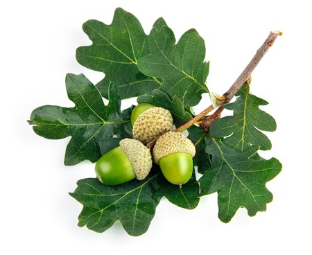 green acorn fruits with leaves isolated on white background Stock Photo - 7629591