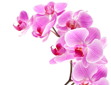 orchid flowers on branch isolated white background