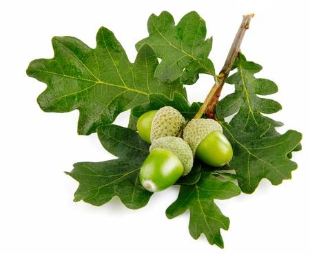 groene acornvruchten met bladeren die op witte achtergrond worden geïsoleerd