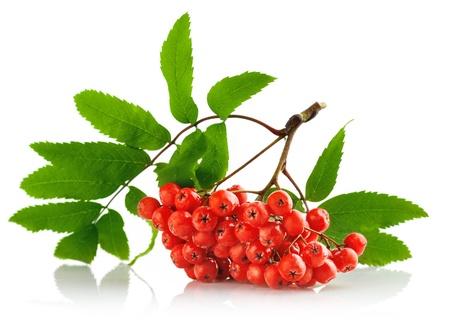 Vogelbeere: ashberry Cluster mit roten Beeren und grünem Blatt isoliert auf weißem Hintergrund Lizenzfreie Bilder