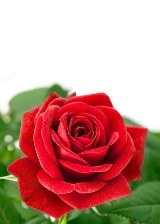 festal: rosa rossa con foglia verde isolato su sfondo bianco Archivio Fotografico