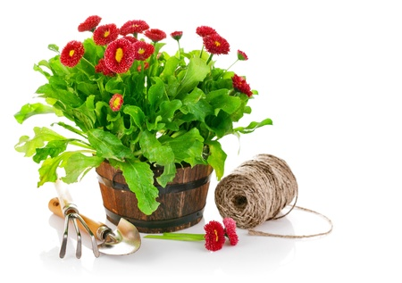 blooming bush daisies in pot with garden tools isolated on white background Stock Photo - 13847635