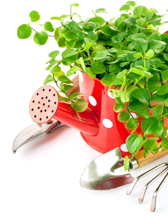 watering can: green plant in red watering can with garden tools isolated on white background