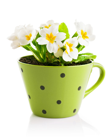 spring flowers with leaves in pot isolated on white background photo