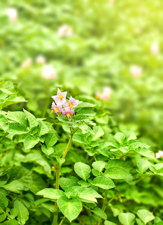Blooming potatoes with green leaves photo