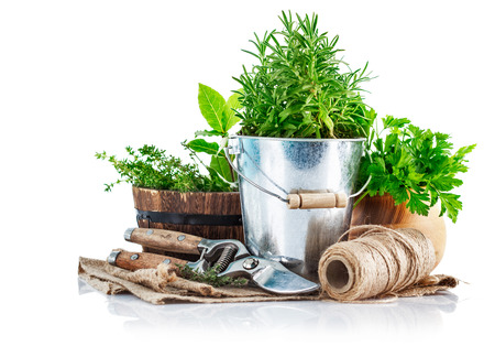 Fresh green herbs with garden tools. Isolated on white background photo