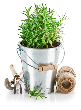 Bush rosemary in iron bucket with garden tools. Isolated on white background photo