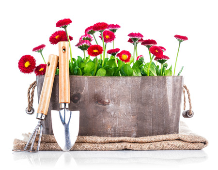 gardening tools: Spring flowers in wooden basket with garden tools. Isolated on white background Stock Photo