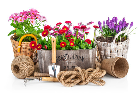Spring flowers in wooden bucket with garden tools. Isolated on white background Фото со стока