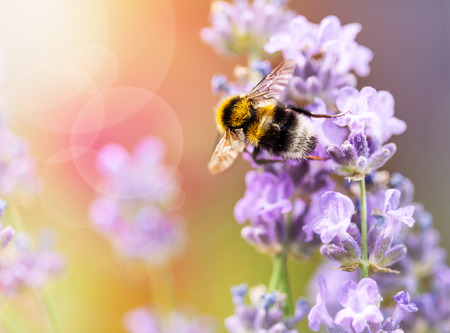 Summery flowers lavender with bee