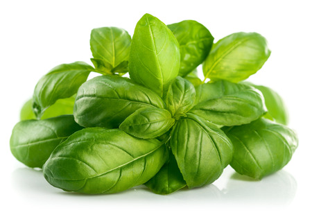 basil: Fresh green leaf basil. Isolated on white background