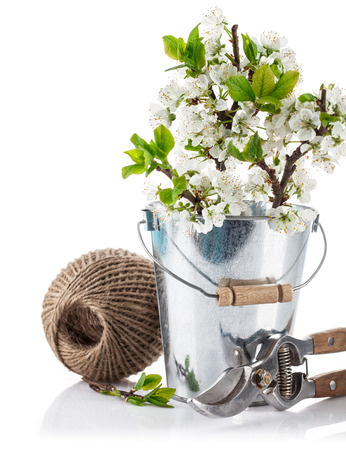 secateur: Spring still life branch blooming plum in bucket with garden tools. Isolated on white background Stock Photo