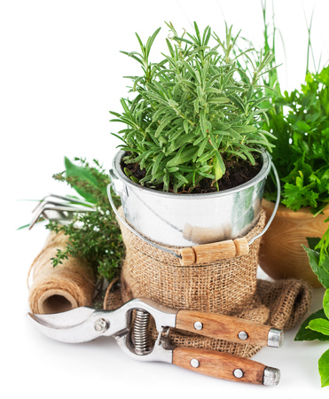 secateur: Fresh green herbs with garden tools. Isolated on white background