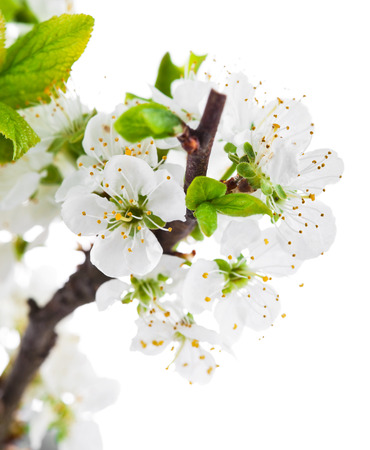 still life flowers: Branch blooming tree with green leaves spring still life. Isolated on white background