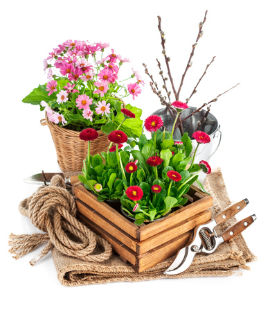 Spring flowers in wooden bucket with garden tools. Isolated on white background Standard-Bild