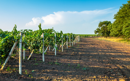 willows: Vineyard field with vine willows and ground Stock Photo