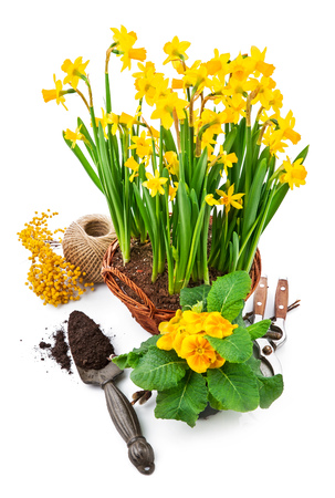 yellow blossom: Bunch spring blossom yellow narcissus in wicker basket from mimosa and bush primula, isolated on white background