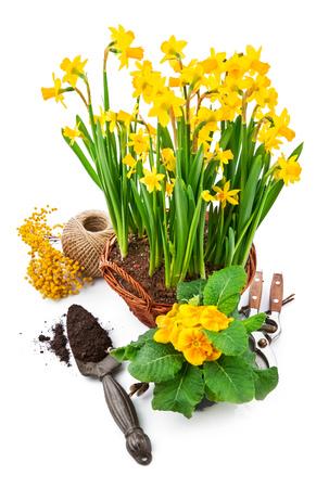 Manojo de primavera flor de narciso amarillo en cesta de mimbre de la mimosa y prímula arbusto, aislado en fondo blanco