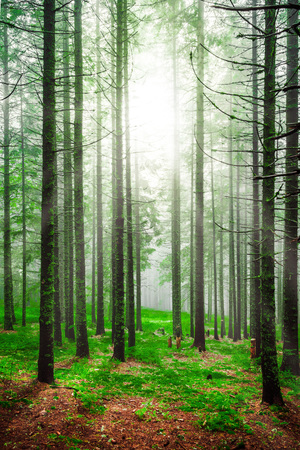 piny: Foggy early morning in piny forest with green grass and high tree trunks. Forests matutinal sunrise landscape with shining sunlight rays throw pine trees crowns.