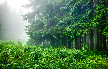 crone: Landscape of forest edge with green branches of fir-trees in wet foggy and rainy weather. Stock Photo