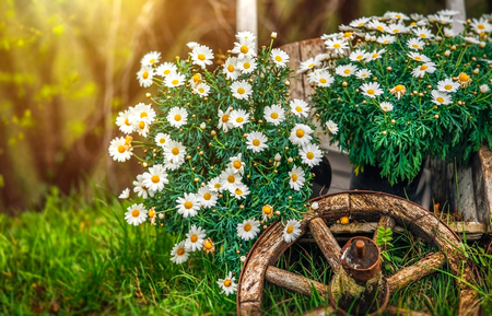 Camomile flowers blossom at lawn with green grass and old wooden wheel. Decorative natural elements for landscape design, gardening and flowering. Stock Photo
