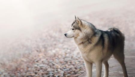 single animal: Single dog animal Husky breed standing at street. Domestic pet Stock Photo