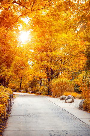 crone: Autumn fall park with yellow leaves on trees and shining sunflare sunshine and sun rays throw crowns. Alley road way path landscape.
