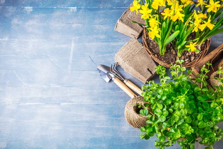 Spring flowers narcissus top view garden tools on old wooden blue board, copyspace