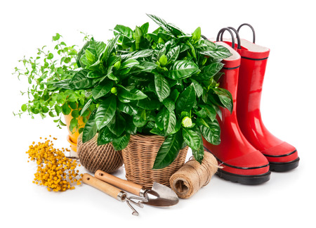 Green bush with flowers in basket red jackboot and garden tools spring branch mimosa gardening, isolated on white background