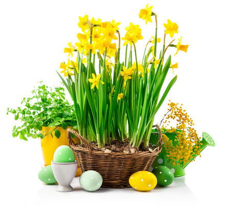 Easter still life with eggs and spring blossom yellow narcissus and branch mimosa, isolated on white background Stock Photo