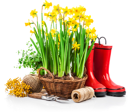 Spring flower yellow narcissus in wicker basket from garden tools and red boots gardening, isolated on white background