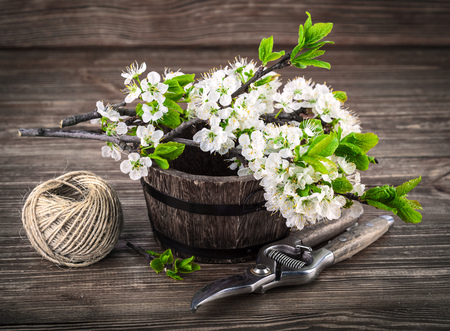 crone: Spring bunch blooming branch tree flowers with green leaf and garden tool on old wooden board in rustic style