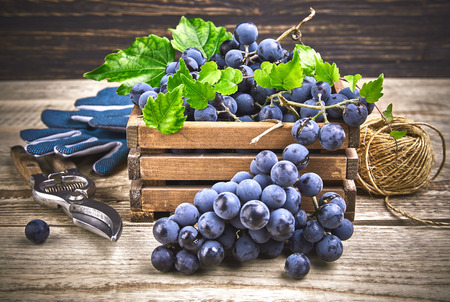 Blue grapes in box with willow and green leaf at old wooden board rustic style copyspace.