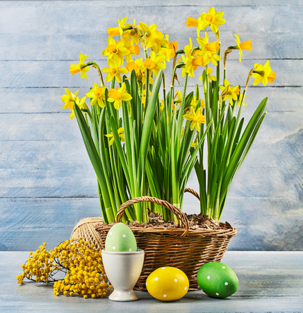 Easter holiday card with eggs yellow spring flowers narcissus in wicker basket on blue wooden board and branch mimosa