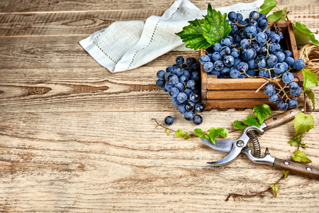 Blue grapes in box with willow green leaf and pruner on old wooden board rustic style. Top view and copyspace. Stock Photo