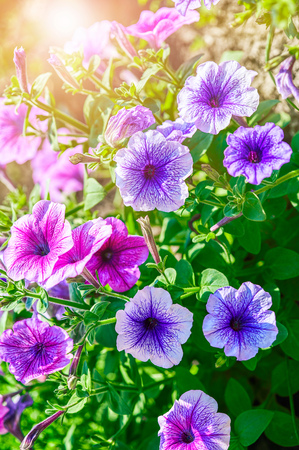 Summery flower purple and pink petunia sunny and colourful background.