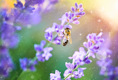 Bee pick honey on flowers lavender on sunset in sunny ray insect. Stock Photo - 97621302