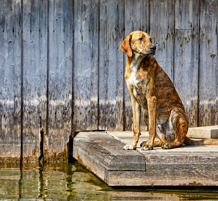 Sad dog sitting at wooden pier by lake near water. Pet animal waiting for his owner.