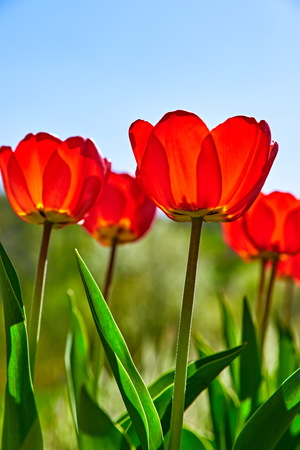 Spring red flower tulips. Bunch dutch flowers with green leaves.