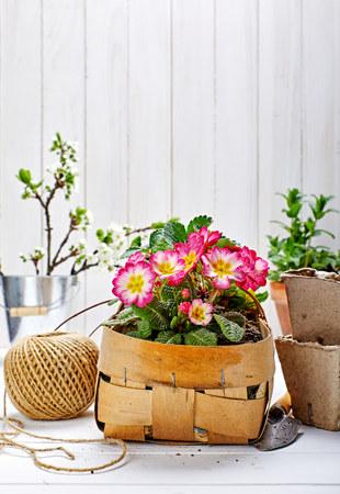 Spring flower primula in wicker basket on wooden board with garden inventory gardening. Stock Photo