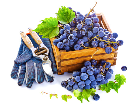 Blue grapes in wooden box with vine pruner still life glove green leaf, isolated on white background.