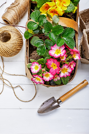 Spring flower primula in wicker basket on wooden board with garden inventory gardening. Top view.