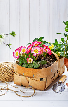 Spring flower primula in wicker basket on wooden board with garden inventory gardening. Фото со стока